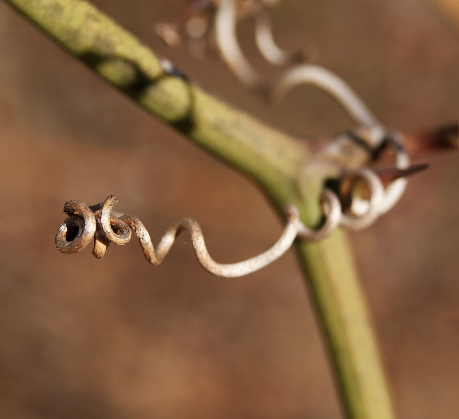 Twister by Rhonda Musgrove - Nature Up Close Other Natural Objects ( nature, vines, vine, twist, branch )