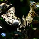 Iguana verde
