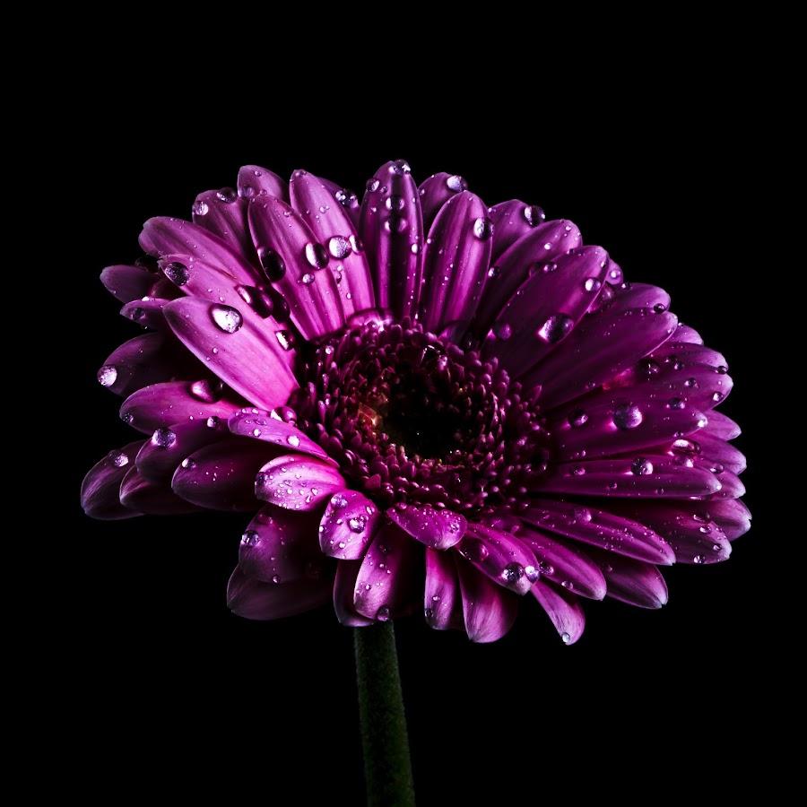 Alone by Sondre Gunleiksrud - Flowers Single Flower ( canon, black background, water drops, single flower, waterdrops, flower,  )