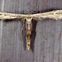 Eupatorium Plume Moth