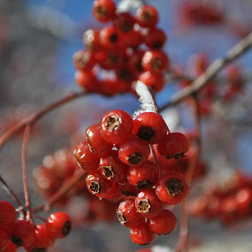 Berries by Timothy Stevenson - Nature Up Close Trees & Bushes (  )