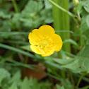 Wild Buttercup