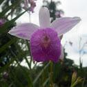 Orquídea Bambú