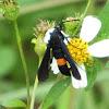 Peachtree Borer Moth
