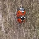 Seven-spotted Ladybird / Ladybug Mating Season