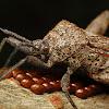 Sweet Potato Bug