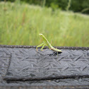 Praying Mantis/European mantis