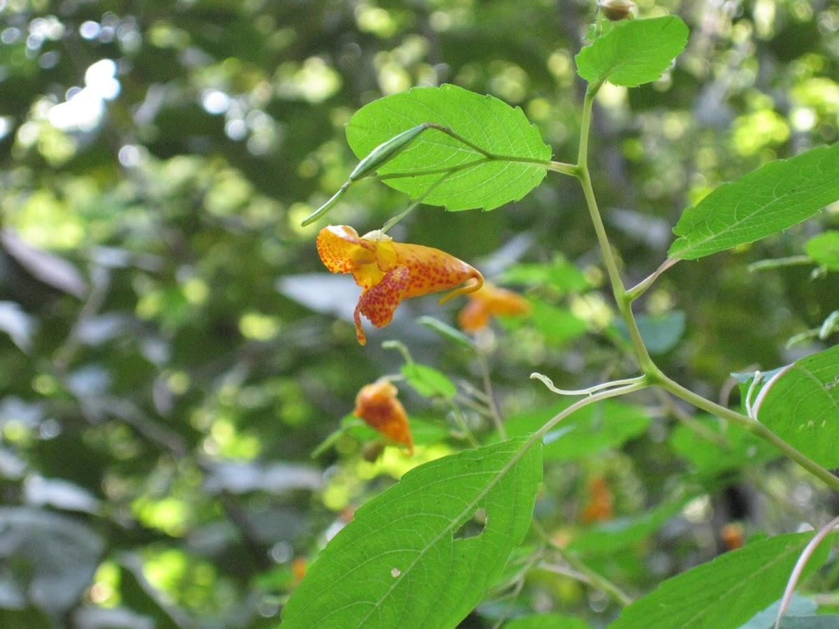 Orange Jewelweed,