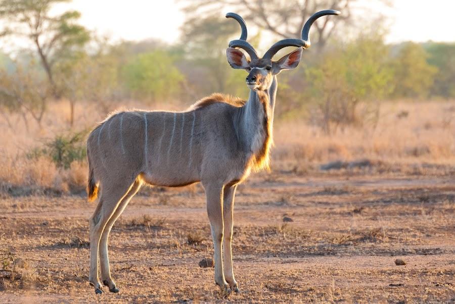Kudu Bull by Geoff Jordaan - Animals Other Mammals