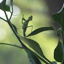 Carolina mantis