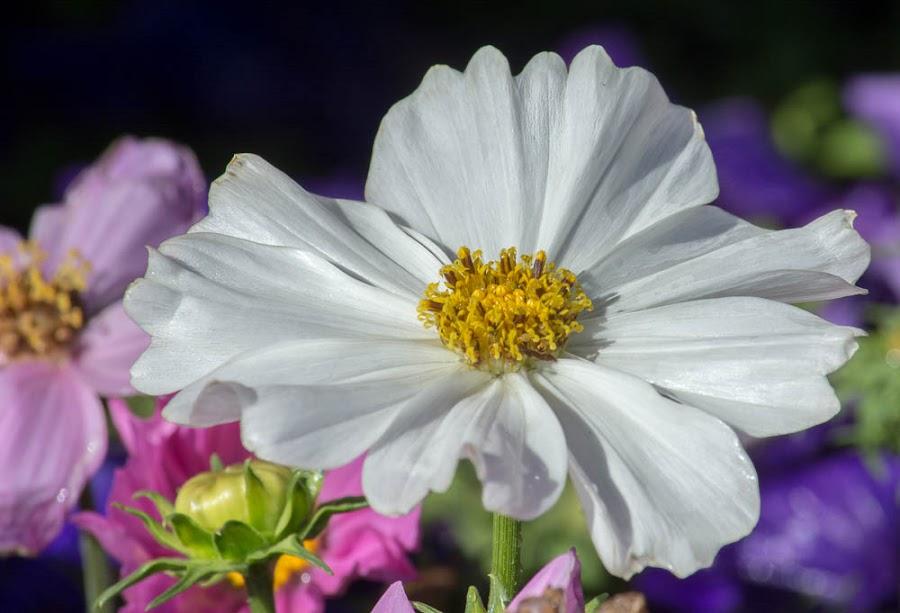 White Cosmos by Leslie Nu - Flowers Single Flower ( nature, flora, landscapes, flower, comos )