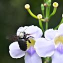 Bali bee