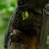 Rodrigues Flying Fox