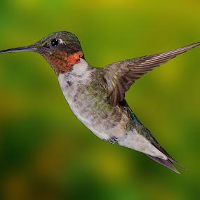 by Lyle Gallup - Animals Birds ( bird, wild, nature, hummingbird, , fly, flight )