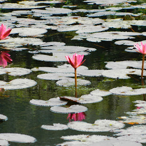Threesome by Caesar Jees - Flowers Flowers in the Wild ( water, water lily, flowers, flower )