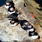 Atlantic puffin in groups, resting