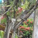 Philippine Sailfin Lizard