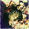 Yellow Sea Urchin