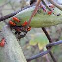 Large Milkweed Bugs (nymphs)