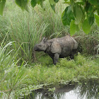 Indian Rhinocero