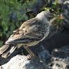 Galapagos Mockingbird (juvenile)