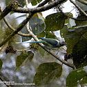 blue-winged parakeet or Malabar parakeet
