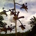 Eulophia Orchid