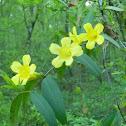 Swamp Yellow Jasmine
