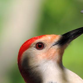 RED BELLIED WOODPECKER by Larry Moore - Animals Birds (  )