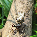 Spined Micrathena (female)