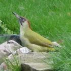 Green Woodpecker/ Groene Specht