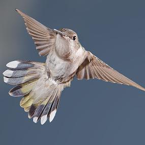 by Lyle Gallup - Animals Birds ( bird, flight, hummingbird, beauty, animal, , fly )