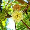 Acacia glauca