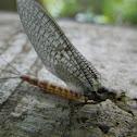 Mayfly, vodencvijet