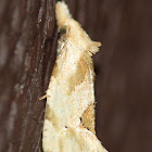 snout moth with a punk hairdoo