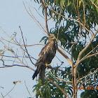 Black Kite or Pariah Kite