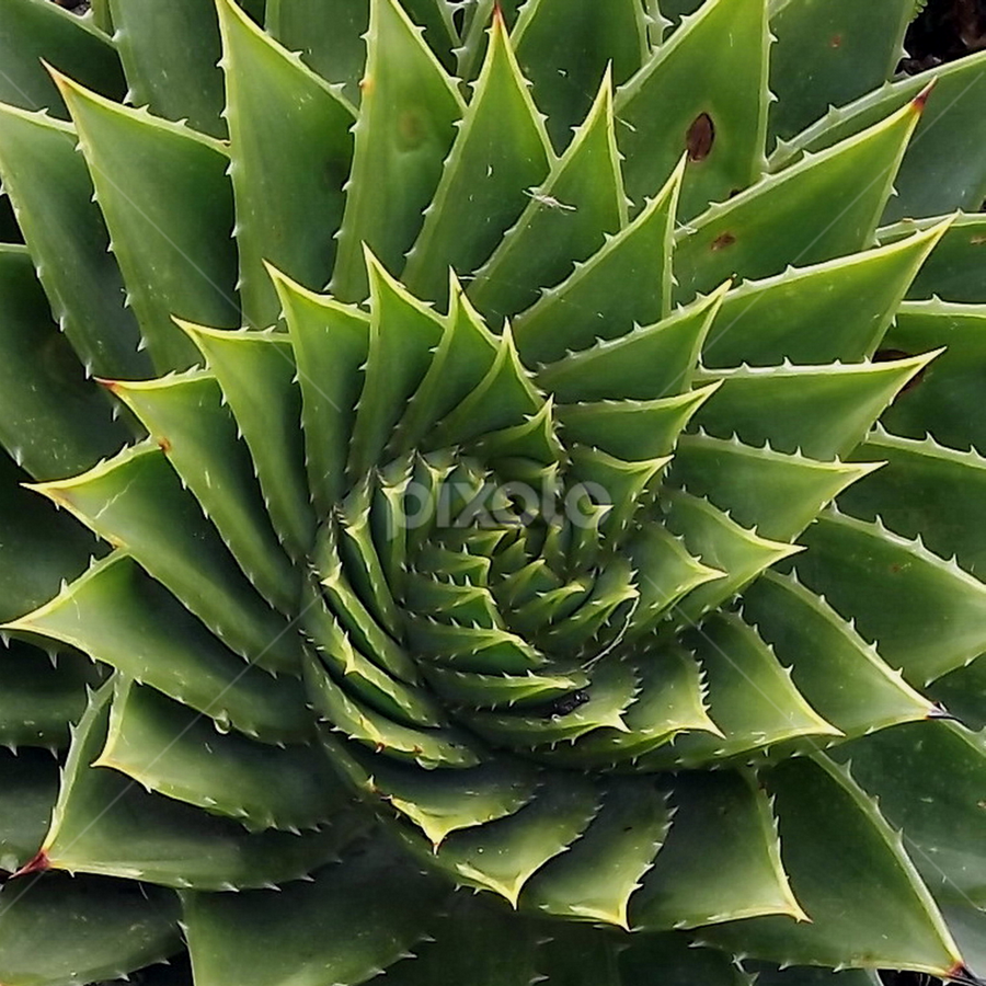 Green Spiral by Dave Turner - Nature Up Close Other plants ( plant, succulent, macro, prickly, green, spiral,  )