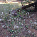 Dandelions and Manzanita.