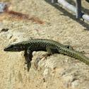 Lagartija roquera, Common wall lizard