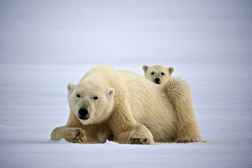 Svalbard-polar-bear-and-cub-2 - See heart-tugging interactions between a polar bear and her cub as you travel to Svalbard in northern Norway with Hurtigruten Fram.