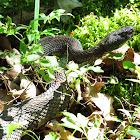 Timber Rattlesnake - Black phase