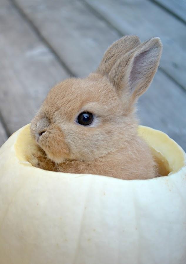 Bunny Boy  by Tristen Leck - Animals Other ( bunny, pumpkin, autumn, fall, halloween, #GARYFONGPETS, #SHOWUSYOURPETS,  )