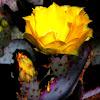 Prickly Pear Cactus blossom