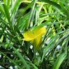 Bitti (Yellow oleander)