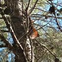 Ardilla Roja - (Red Squirrel)
