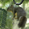dougas squirrel