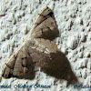 Larentinae, Geometridae