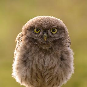 Little Owl Chick by Robert van Brug - Animals Birds ( bird, predator, chick, little owl, uilskuiken, athene noctua, backlighting, close-up,  )