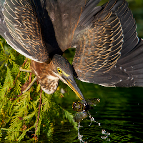 Breakfast by Scott Helfrich - Animals Birds ( nature wild wildlife florida scotthelfrich naturephotography wil, nature, green heron, nature close up, heron,  )