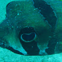 Black blotched Porcupinefish
